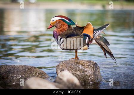 Mandarine duck outdoor