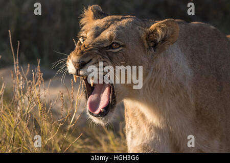 Lioness (Panthera leo) snarling, Chobe National Park, Botswana - Stock Photo