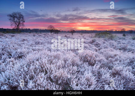 Frosted heather in winter, photographed just before sunrise near Hilversum in The Netherlands. - Stock Photo