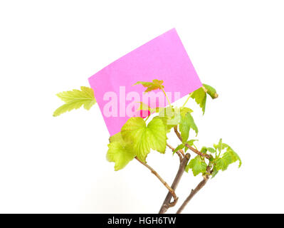 seedling currants isolated on white background - Stock Photo