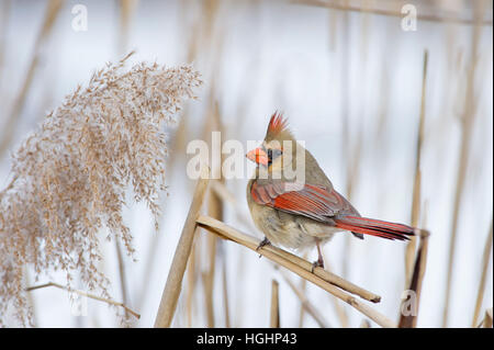 A female Northern Cardinal perched on a stick in front of a snowy background. - Stock Photo