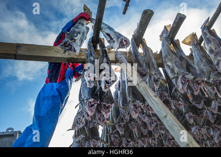 Codfish in Lofoten - Stock Photo