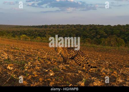 A Jaguar exploring a crop field at sunset. - Stock Photo