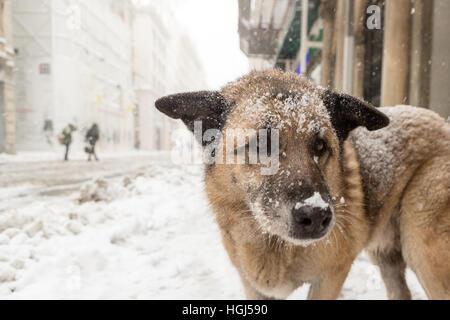 Homeless stray dog in Istiklal Street under heavy snowfall - Stock Photo