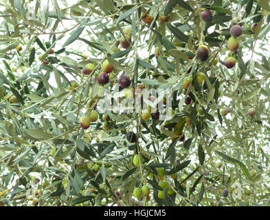 Two-tone Fruits and Dark Green Leaves of the Fruitful Olive Trees at the Mountainside of Greece - Stock Photo