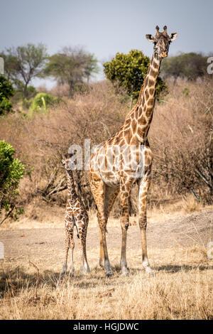Masai giraffe (Giraffa camelopardalis tippelskirchi) and Young - Stock Photo