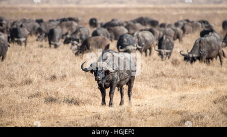 African Buffalo (Syncerus caffer) Herd - Stock Photo