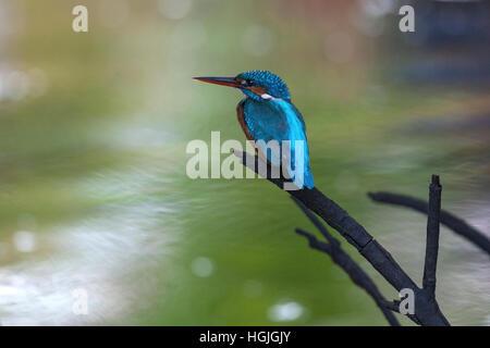 Common, river or Eurasian kingfisher (Alcedo atthis) sitting on branch in mangrove forest, tributary, Bentota Ganga, - Stock Photo