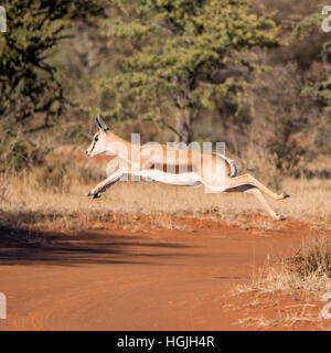 A Springbok gazelle jumps as it crosses a track in Southern African savanna - Stock Photo