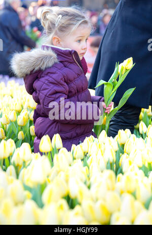 Amsterdam. 21st Jan, 2017. On the Dam tulips are picked during the National Tulip Day, on January 21, 2017, in Amsterdam. - Stock Photo