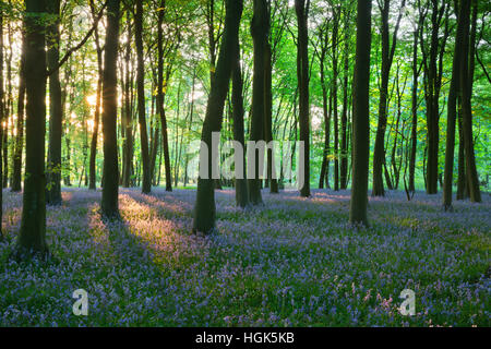 Bluebell wood, near Stow-on-the-Wold, Cotswolds, Gloucestershire, England, United Kingdom, Europe - Stock Photo