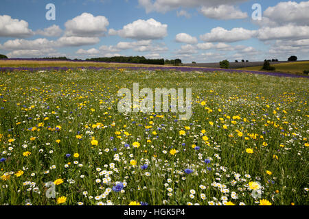 Oxeye Daisies and other wild flowers growing on grassland, Snowshilll, Cotswolds, Gloucestershire, England, United - Stock Photo