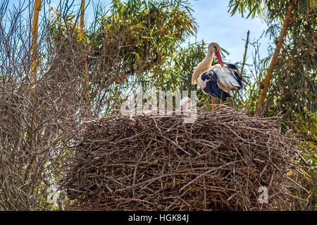White Storks (Ciconia ciconia) In Cellah Fortress Rabat Morocco - Stock Photo
