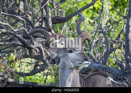 Greater Kudu, (Tragelaphus strepsiceros) Chobe National Park, Botswana, AfricaChobe National Park, Botswana, Africa - Stock Photo