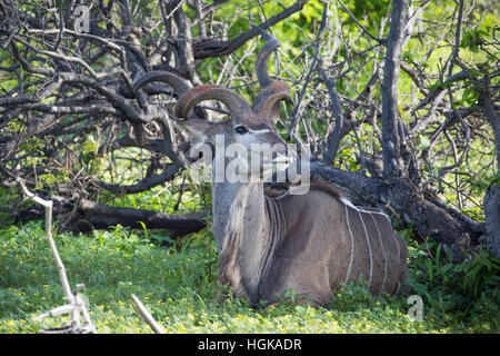 Greater Kudu, (Tragelaphus strepsiceros) Chobe National Park, Botswana, Africa - Stock Photo
