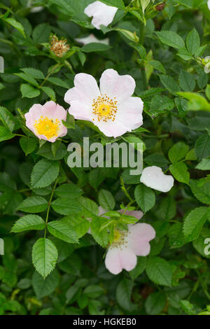 Hunds-Rose, Hundsrose, Heckenrose, Wildrose, Rose, Rosa canina, Common Briar, Dog Rose, Eglantier commun, Rosier - Stock Photo