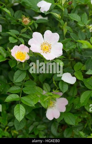Hunds-Rose, Hundsrose, Heckenrose, Wildrose, Rose, Rosa canina, Common Briar, Dog Rose, Eglantier commun, Rosier - Stock Photo