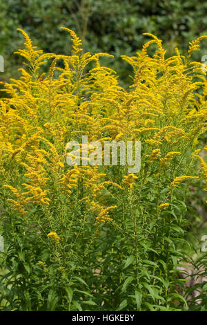 Kanadische Goldrute, Solidago canadensis, Canada Goldenrod - Stock Photo