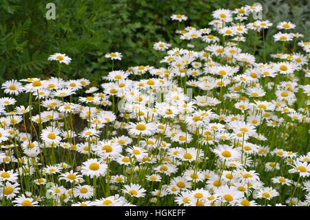 Magerwiesen-Margerite - Leucanthemum vulgare, the ox-eye daisy in garden - Stock Photo
