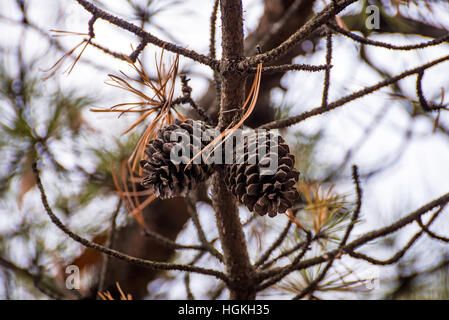 two acorns isolated on a pine tree - Stock Photo