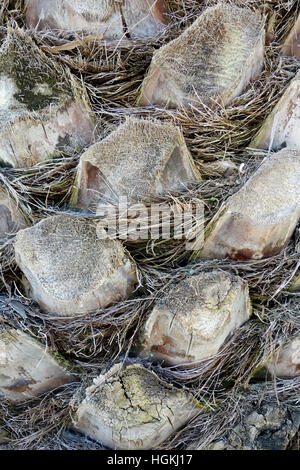 Upper trunk detail of palm tree background texture pattern. - Stock Photo