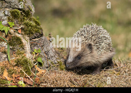 Western European Hedgehog (Erinaceus europaeus), foraging, Switzerland - Stock Photo