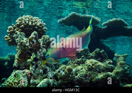 Rusty Parrotfish, Scarus ferrugineus, in shallow water in Maldives, Indian Ocean - Stock Photo