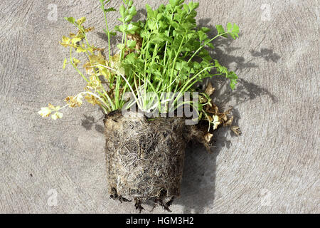 Overly grown roots of Apium graveolens var. secalinum or also known as Chinese celery - Stock Photo