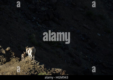 Momma goat (ewe) standing on a ridge, looking backward toward her lamb. They stand on the ridge in the sun while - Stock Photo