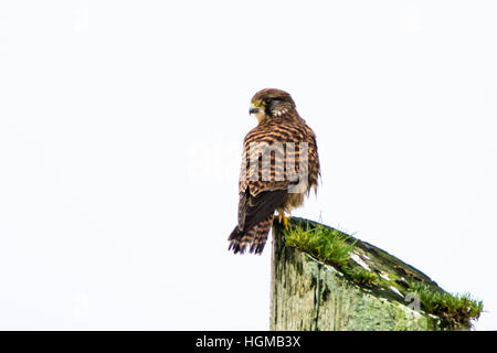 Common Kestrel (Falco Tinnunculus) perched on tip of a telegraph post in Ireland - Stock Photo