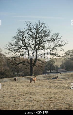 Oak tree in winter near Broughton Hackett in Worcestershire, England - Stock Photo