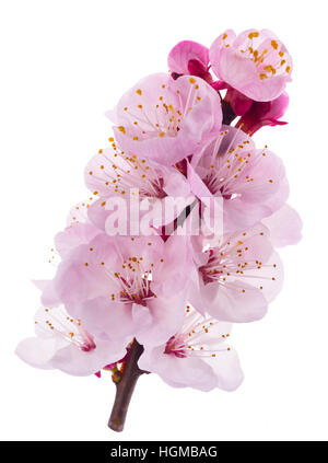 Apricot flowers isolated on white background - Stock Photo