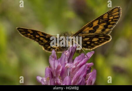 Male Chequered Skipper, Carterocephalus palaemon feeding on Red Clover. - Stock Photo