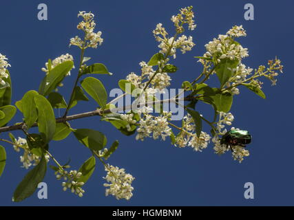 Rose Chafer beetle, Cetonia aurata, feeding on the flowers of Privet. - Stock Photo