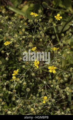 Hoary cinquefoil, Potentilla argentea in flower, dry limestonev grassland. - Stock Photo