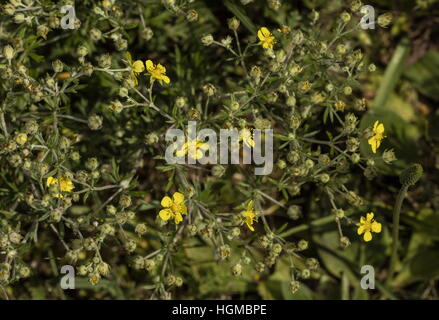 Hoary cinquefoil, Potentilla argentea in flower, dry limestone grassland. - Stock Photo