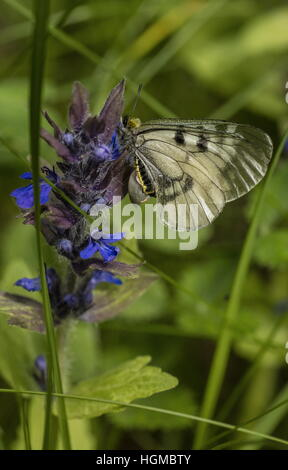 Clouded Apollo, Parnassius mnemosyne, female butterfly settled on bugle, in montane grassland, Hungary. - Stock Photo