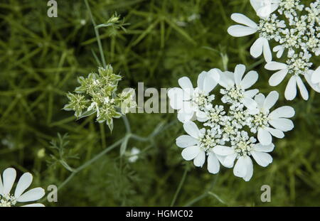White laceflower, white lace flower, Orlaya grandiflora - Stock Photo