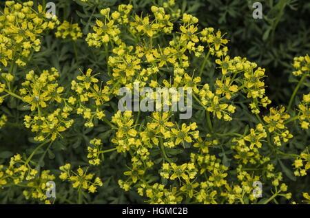 Common rue or herb-of-grace, Ruta graveolens in flower, as garden plant. - Stock Photo