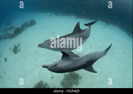 A couple of wild Indo-Pacific bottlenose dolphins (Tursiops aduncus) is playing in front of the camera underwater - Stock Photo