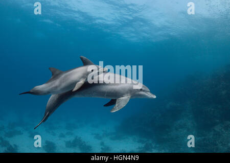 Two wild Indo-Pacific bottlenose dolphins (Tursiops aduncus) - mother and baby are swimming in the clear blue waters - Stock Photo