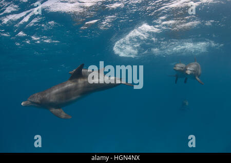 A group of wild Indo-Pacific bottlenose dolphins (Tursiops aduncus) is swimming next to the surface in the clear - Stock Photo