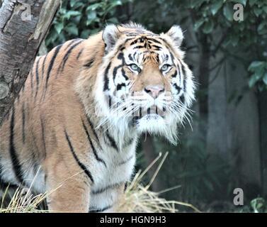 tiger : Sumatran tiger (Panthera tigris sumatrae) is a rare tiger subspecies that inhabits the Indonesian island - Stock Photo