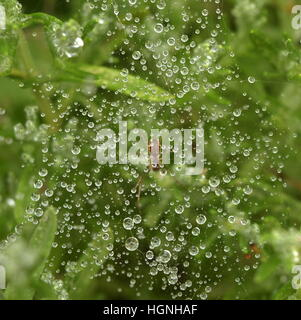 spider's web on plant covered in raindrops, spider in center of web - Stock Photo