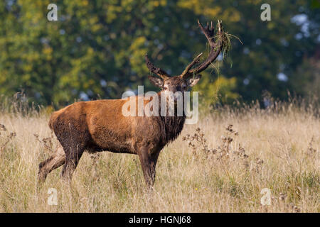 Red deer (Cervus elaphus) stag covered in mud with broken off antler caused by fierce fighting during the rut in - Stock Photo