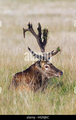 Red deer (Cervus elaphus) stag with broken antlers covered in mud resting in grassland during the rut in autumn - Stock Photo