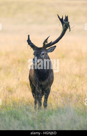 Red deer (Cervus elaphus) stag with broken antler caused by fierce fighting during the rut in autumn - Stock Photo