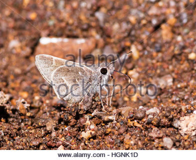 White-barred Skipper Atrytonopsis pittacus Butterfly  'New Mexico' - Stock Photo