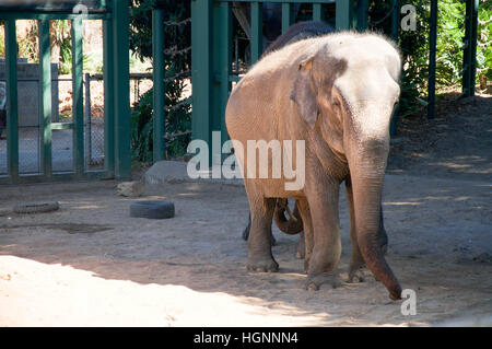 Asian elephants standing in the outdoor enclosure at the Perth Zoo with long trunks and small ears in Western Australia. - Stock Photo
