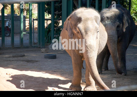 Two Asian elephants in outdoor enclosure at the Perth Zoo in Perth, Western Australia. - Stock Photo